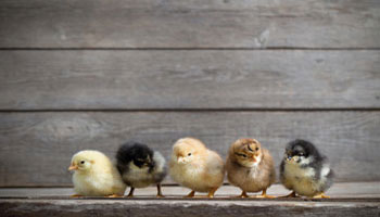 chicks-clutch-baby-chickens