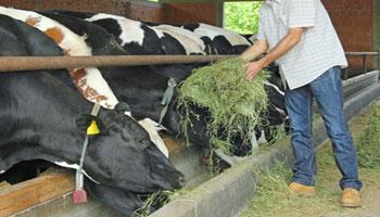 farmer-feeding-cows-catle